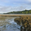 A tidal flat with wetland vegetation along the Hudson River. Image source: Cornell University
